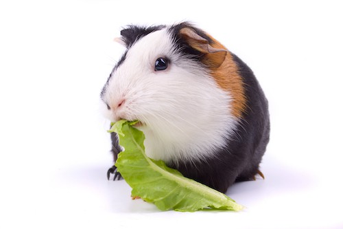 Guinea pig eating green lettuce