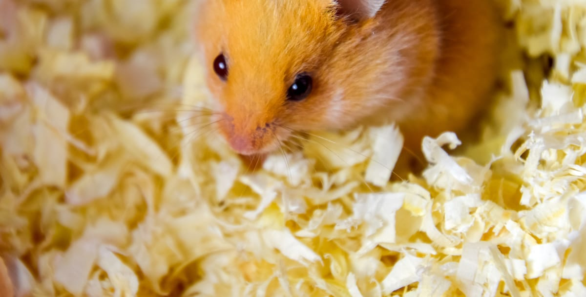 best hamster bedding is gentle and dust-free