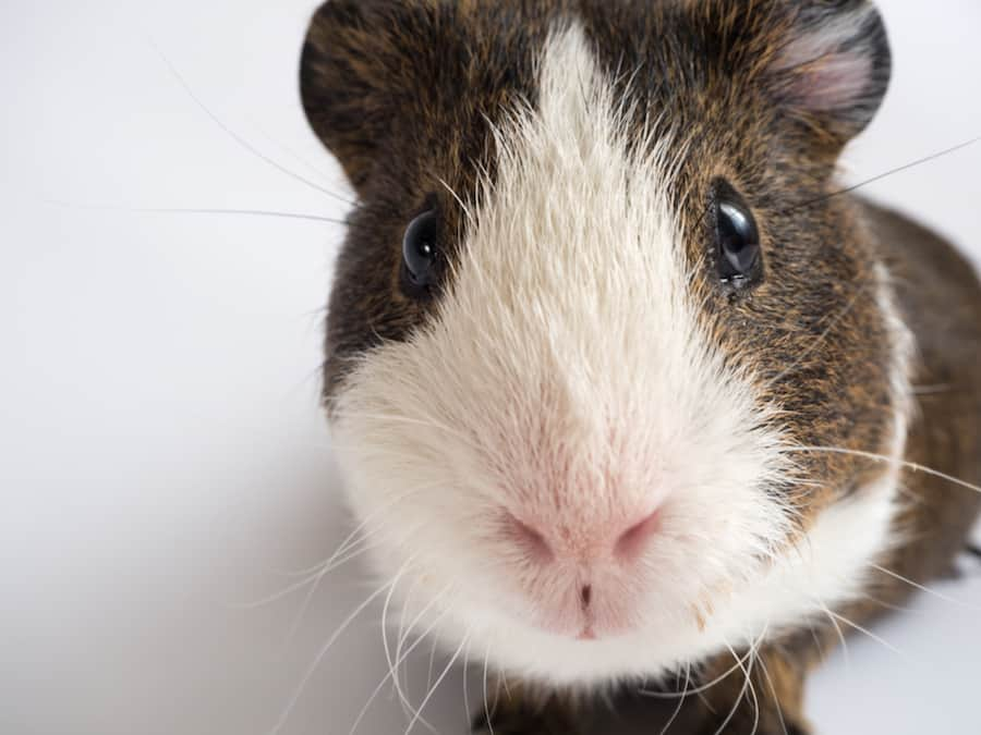 guinea pig looking at the camera