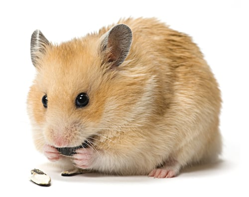 Hamster eating seeds