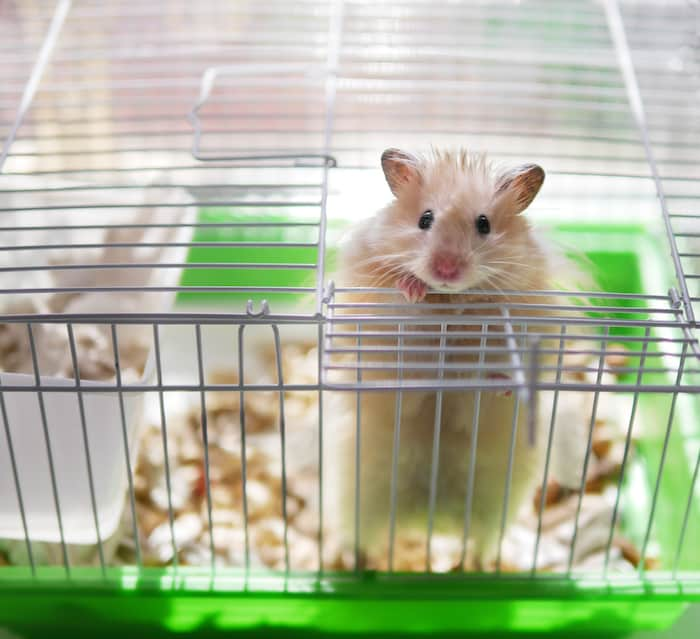 hamster in a top wire cage