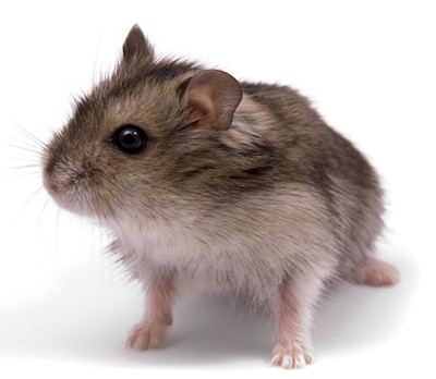 dwarf hamster needs a cage