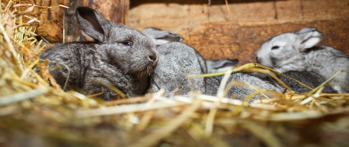 bunnies on hay bedding