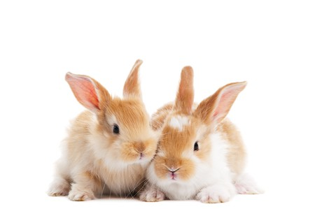 two baby light brown rabbits