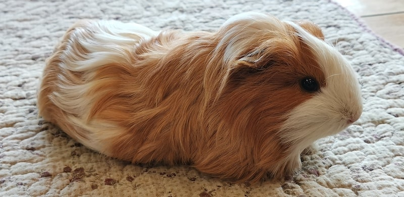guinea pig eating on floor