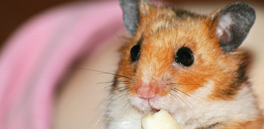 hamster can eat cheese
