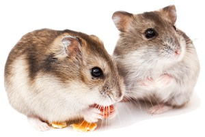 hamsters eating a piece of cheese