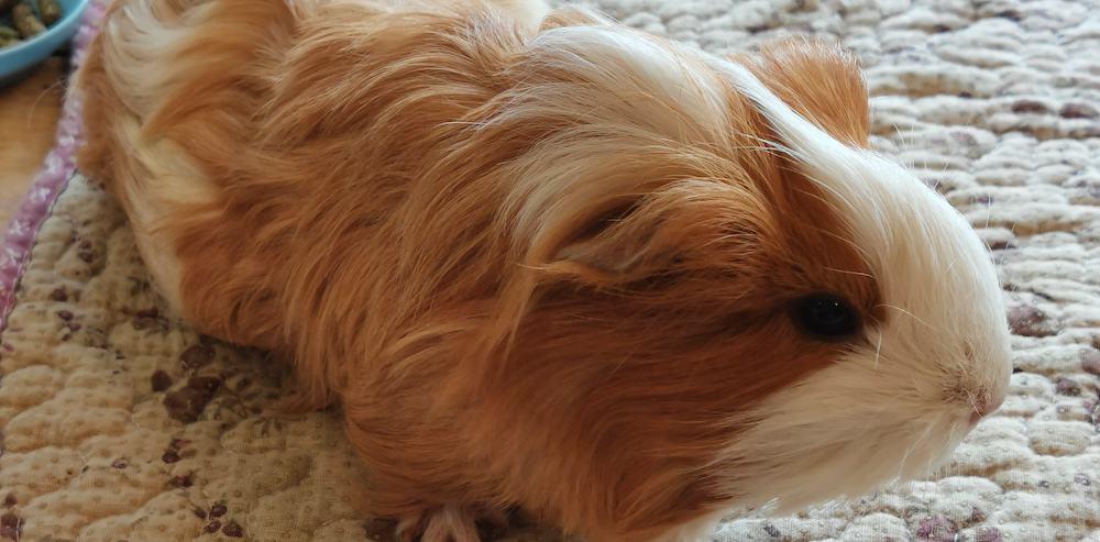 guinea pigs smell